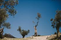 Alter Olivenbaum by cupcakephotography