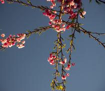 Cherry Blossom by Raquel Cáceres Melo