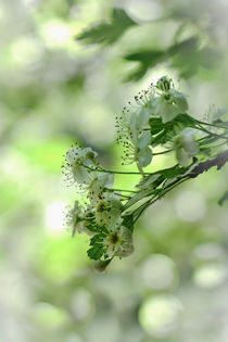 Weissdornblüte von elio-photoart
