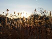 Gräser am Bachlauf von rosenlady