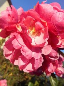 OMAMAMIA Rosenblüte im Oktober by rosenlady