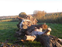 Gefallener Baum by rosenlady