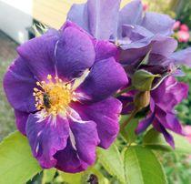 Rose Freddybub by rosenlady