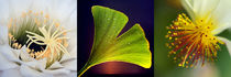 Blüten-Ensemble mit Ginkgo, Makroaufnahmen, blossoms von Dagmar Laimgruber