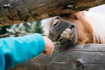 Pferd knabbert am Grashalm by Manuel Wiemann