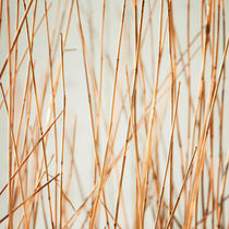 Winter reeds by Miemo Penttinen