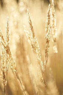 Summer grain by Miemo Penttinen