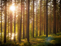 Golden hour forest von Miemo Penttinen