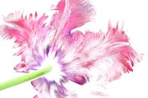 Tulpe von Nina Schwarze