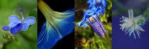 Blüten-Ensemble mit Uganda-Veilchen, Prunkwinde, Enzian und weißer Kaktusblüte, Makro, blossoms by Dagmar Laimgruber