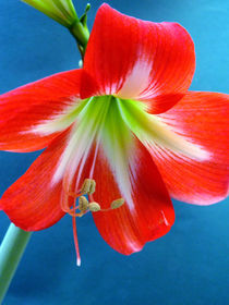 Rote Amaryllis-Blüte, Ritterstern, Makrofotografie, blossom of hippeastrum by Dagmar Laimgruber