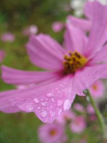 Regenblüte by lito-ovisa