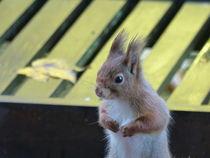 Eichhörnchen-1 by maja-310