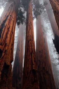 Redwoods - riesige Bäume von cgstudios