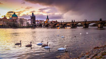 Swans under the Charles Bridge by Zoltan Duray