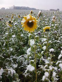 Sonnenblumen im Schnee by Andrea Meister