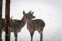 Rehe im winterlichen Harz von Andreas Levi