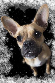 Französische Bulldogge / 15 von Heidi Bollich