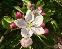 Apfelblüte von Stefan Wehmeyer