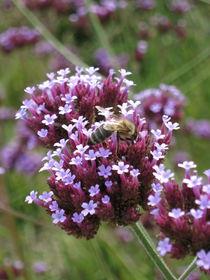 Biene auf der Blüte by yvi-mueller