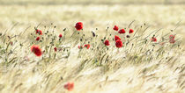 A poppy poem by Stephanie Koehl
