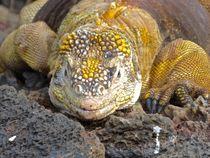 Iguana on the Rocks by Annika  Leichtweiss
