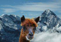 Alpaka in den schweizer Alpen von kattobello
