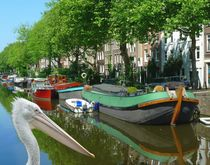 Pelikan in Amsterdam by kattobello