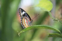 beautyfly von jasminaltenhofen