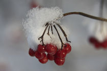 winter berries by jasminaltenhofen