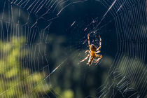 Spider in the centre of her web with dew on the silk by Chris Warham