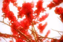 Pfirsichblüten von Bastian  Kienitz