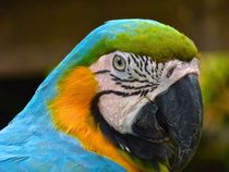Macaw Portrait von Annika  Leichtweiss