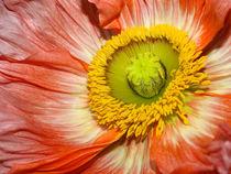 Rote Mohn-Blüte, glamorous blossom of red poppy, Makrofotografie by Dagmar Laimgruber