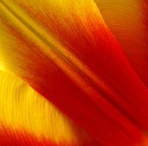 Makrofotografie, Tulpen-Blatt, Blütenblatt, tulip by Dagmar Laimgruber