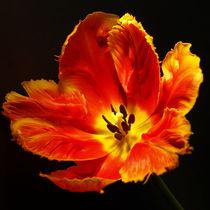 Rote Tulpen-Blüte, glamorous blossom of red tulip, Makrofotografie by Dagmar Laimgruber