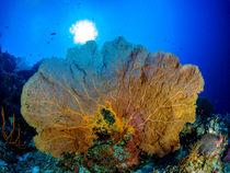 Fächer-Koralle by Sascha Caballero