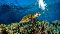 Schildkröte am Riff von Sascha Caballero