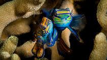 Mandarin Fisch von Sascha Caballero