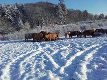 Rinder im Schnee by assy