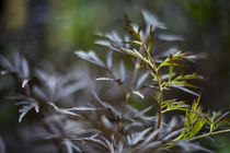Sambucus nigra- Elderberry by studioflara