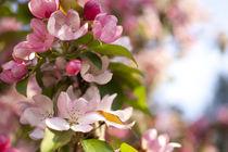 Blooming apple tree von studioflara