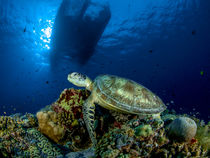 Turtle on the Reef by Sascha Caballero
