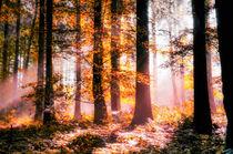 Herbstlicht von Nicc Koch