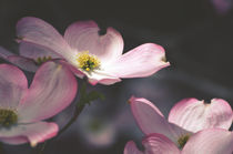 Pink Dogwood Flowers by Karen Black