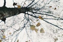 Birch by Gytaute Akstinaite