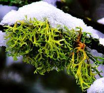 Flechte im Winterkleid von Eberhard Schmidt-Dranske