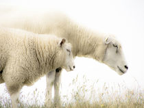 Sheeps by Steffan  Martens