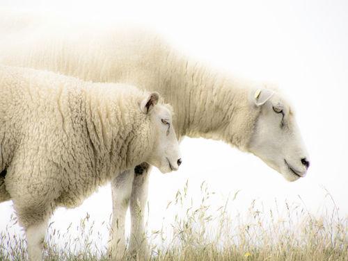 Sheep300-jpeg