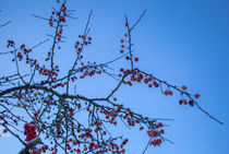 Sorbus aucuparia by Detlef Koethner